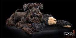 black miniature schnauzer with cuddle toy