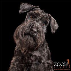 cool beard on black miniature schnauzer