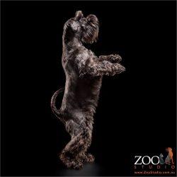 dancing black miniature schnauzer