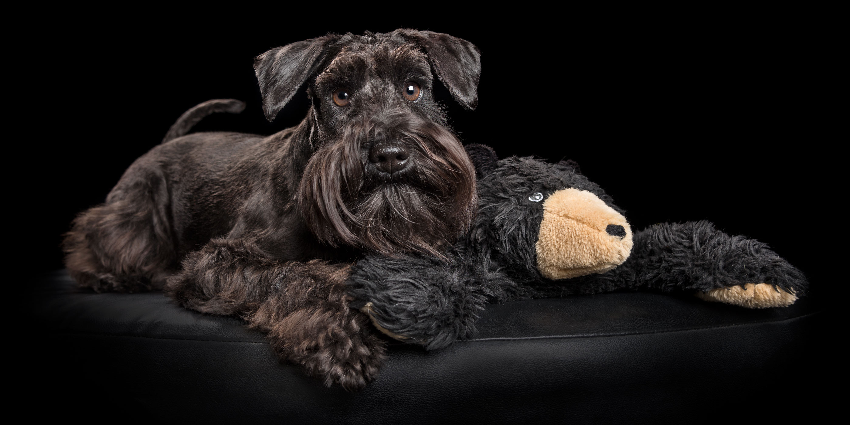 sweet black miniature schnauzer snuggling with toy