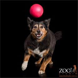 border collie cross on the run after red ball