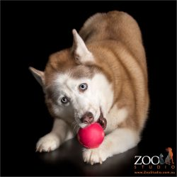 siberian husky pouncing on red ball