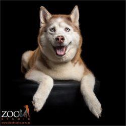 smiling relaxed siberian husky