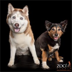 fur sibling girls border collie cross and siberian husky