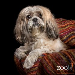 lhasa apso snuggled in multi-coloured blanket