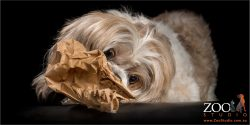lhaso apso chomping on brown paper bag