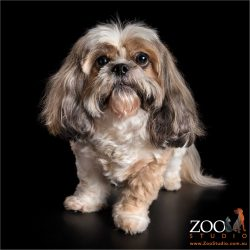shih tzu boy in sit position