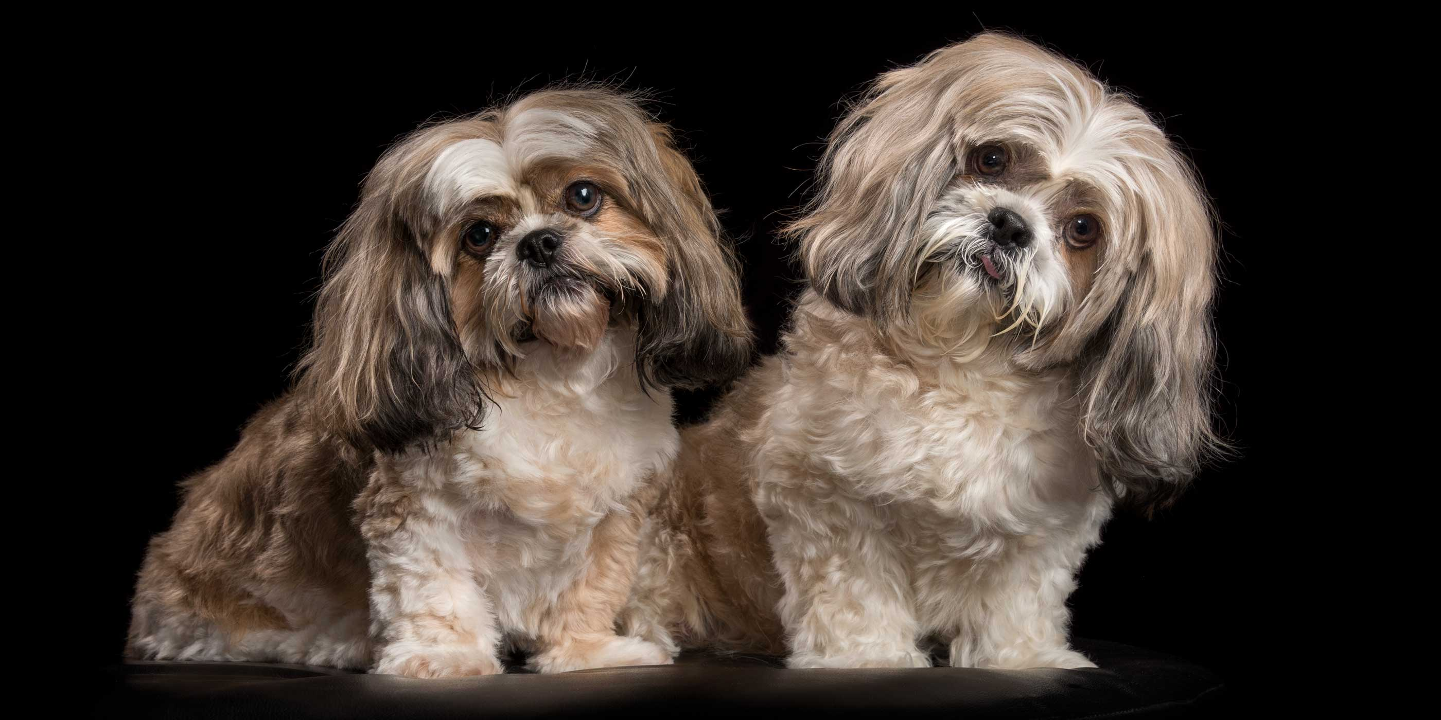 lhasa apso girl and shih tzu boy sitting together