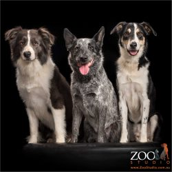trio of australian working dogs two border collies and a cattle dog