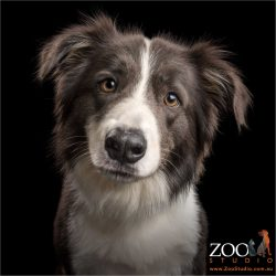 handsome black and white boy border collie