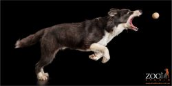 leaping black and white border collie