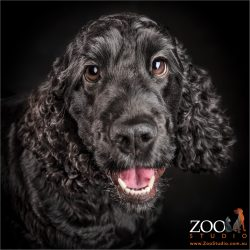 cheeky smile on black cocker spaniel girl