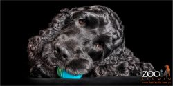 black cocker spaniel girl chewing on blue ball