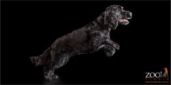 leaping black cocker spaniel girl
