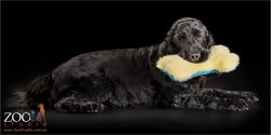 black cocker spaniel lying down with fluffy toy in mouth