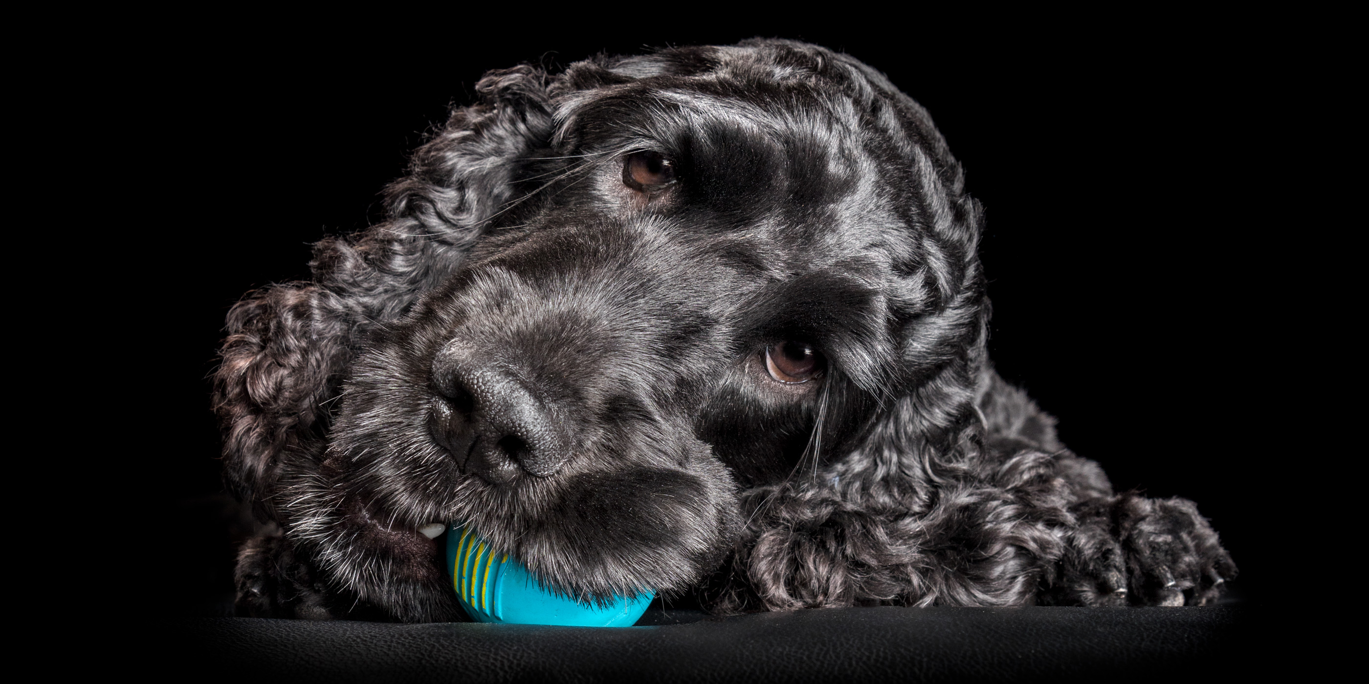face close up black cocker spaniel chewing on blue ball