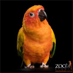 inquisitive sun conure