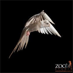airborne platinum cockatiel