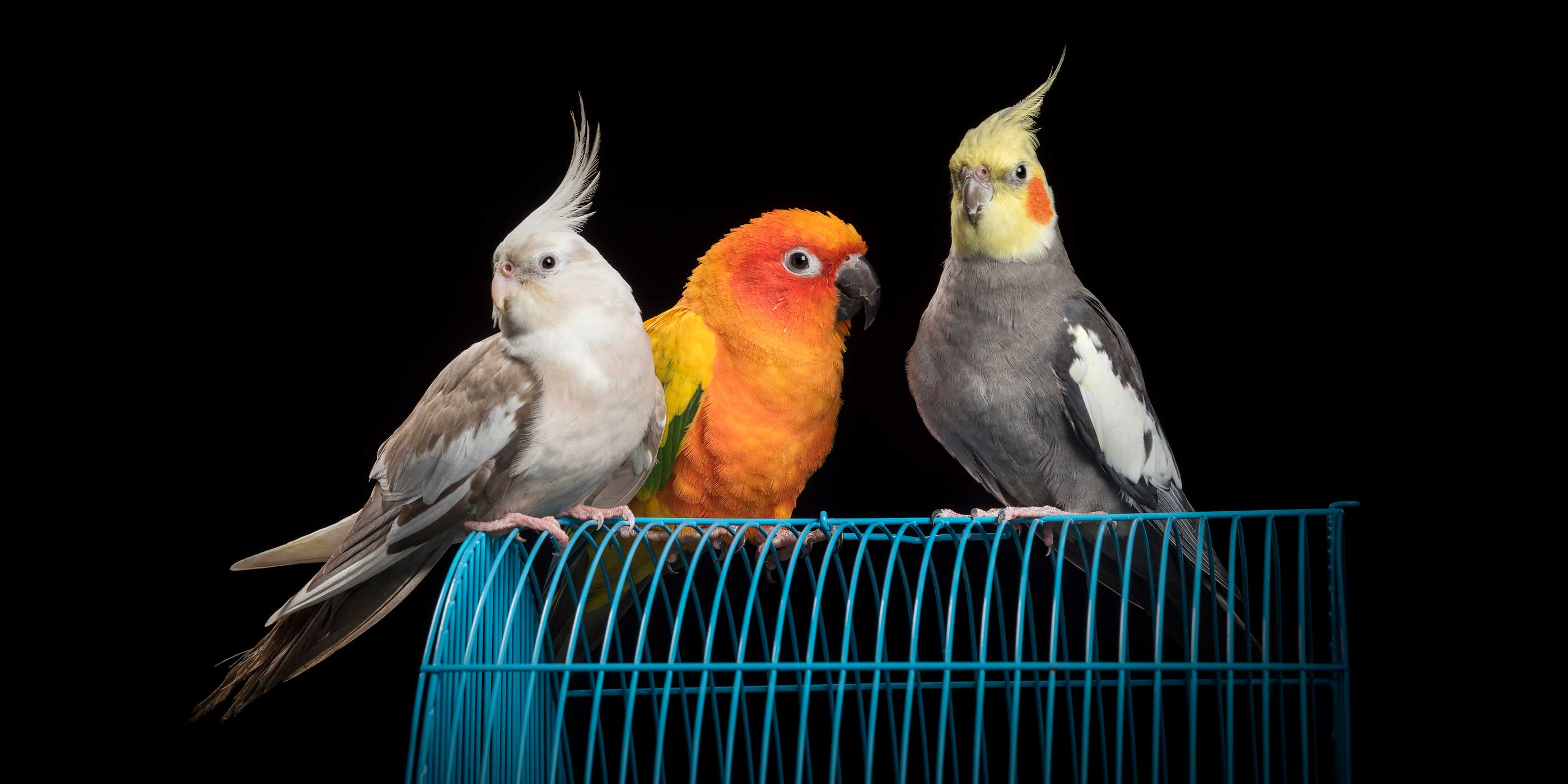 trio of feathered friends sitting on top of cage two cockatiels and sun conure