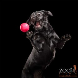 black labrador leaping for pink ball