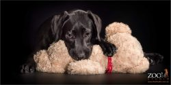 cuddly black lab with cream cuddle toy