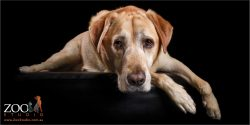 loving golden labrador with soulful face