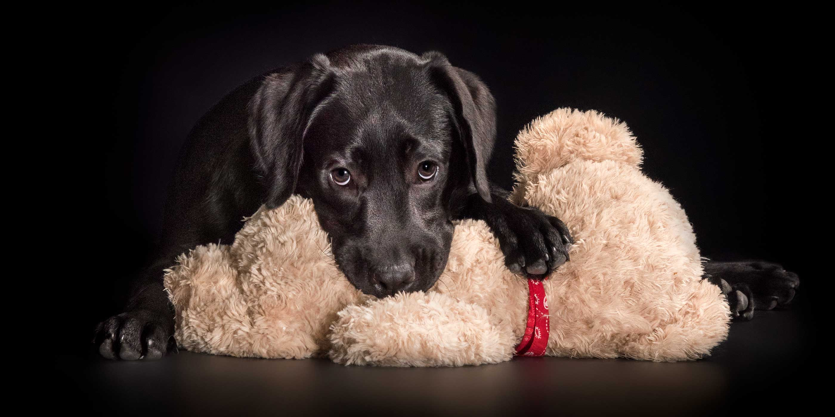 puppy black lab chewing on soft toy