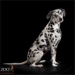 regal sit from dalmatian girl