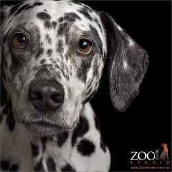 face close up dalmatian girl