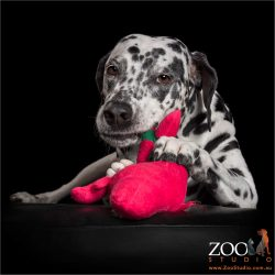 pretty dalmatian girl chewing on pink cuddle toy