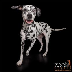 happy romping from dalmatian girl