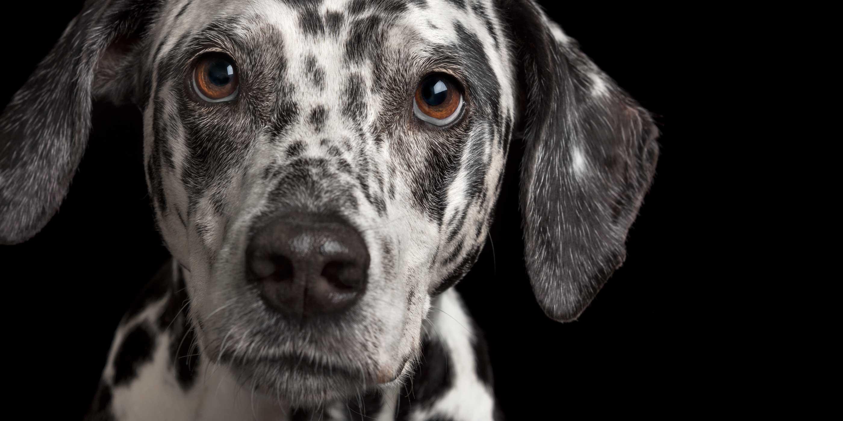 face close up on sweet dalmatian girl