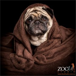 girl fawn pug wrapped in brown blanket