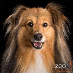 fluffy smiling shetland sheepdog boy