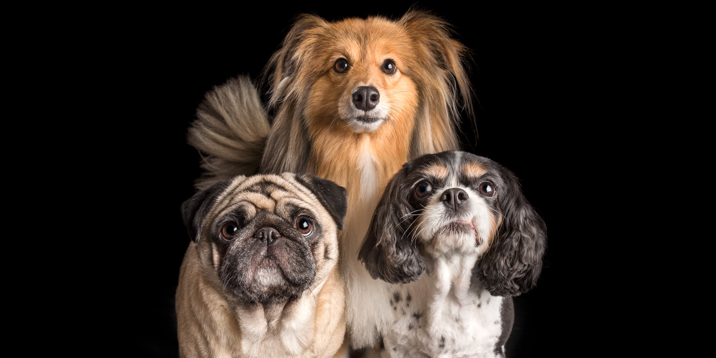 different breeds fur siblings shetland sheepdog cavvie and pug