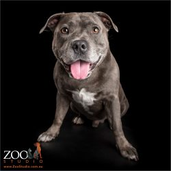 smiling staffordshire bull terrier sitting down