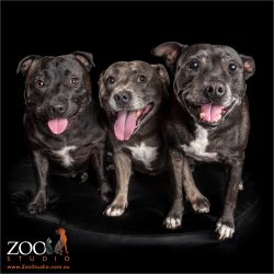 trio of fur-siblings smiling staffies