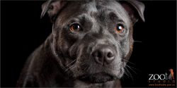 brown eyed black staffordshire bull terrier full head shot