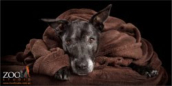 snuggle bunny staffordshire bull terrier cross