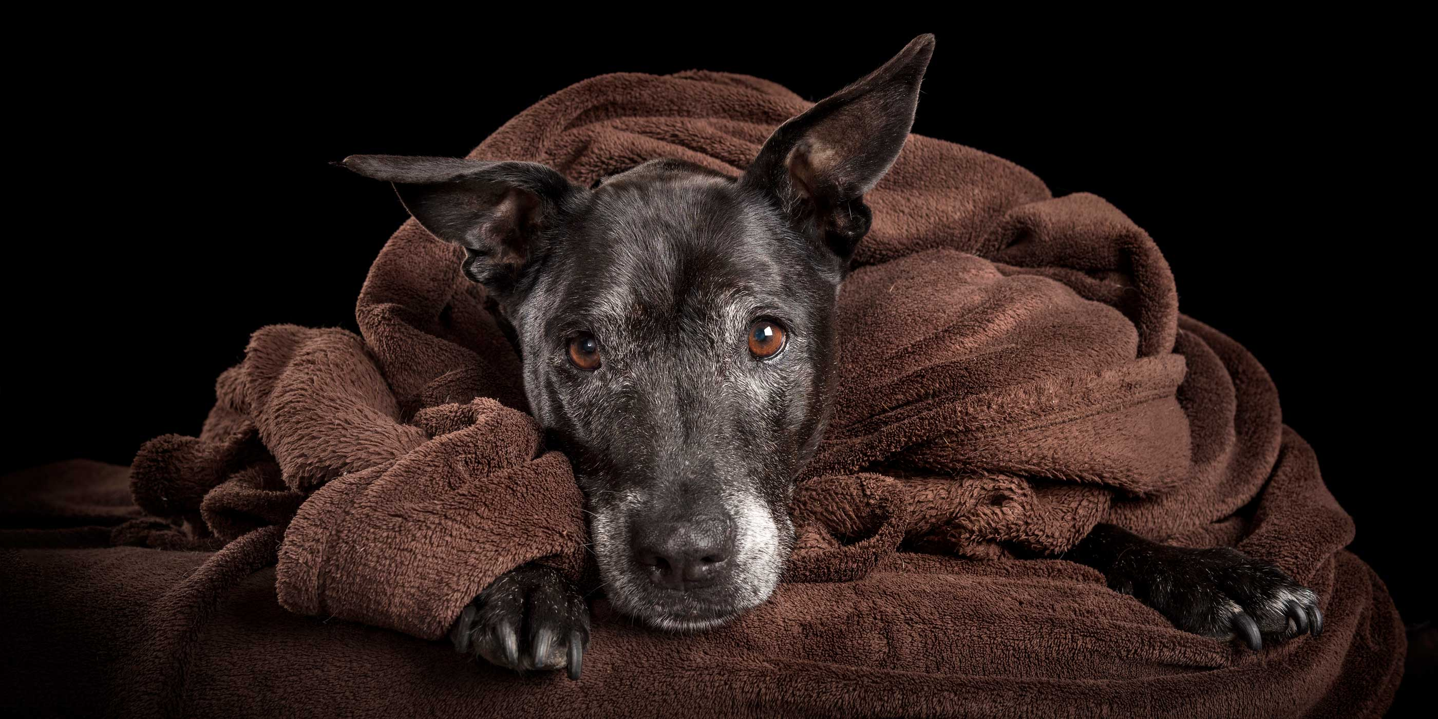 black staffy cross wrapped up in brown snuggle rug