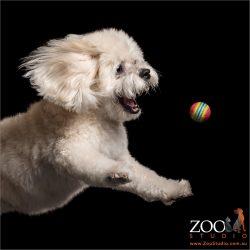 bouncing after ball shih tzu cross
