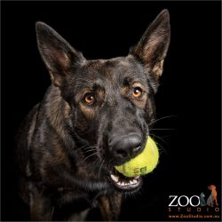 brown eyed girl with tennis ball in mouth german shepherd