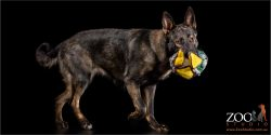 sable german shepherd girl with stuffed toy in mouth