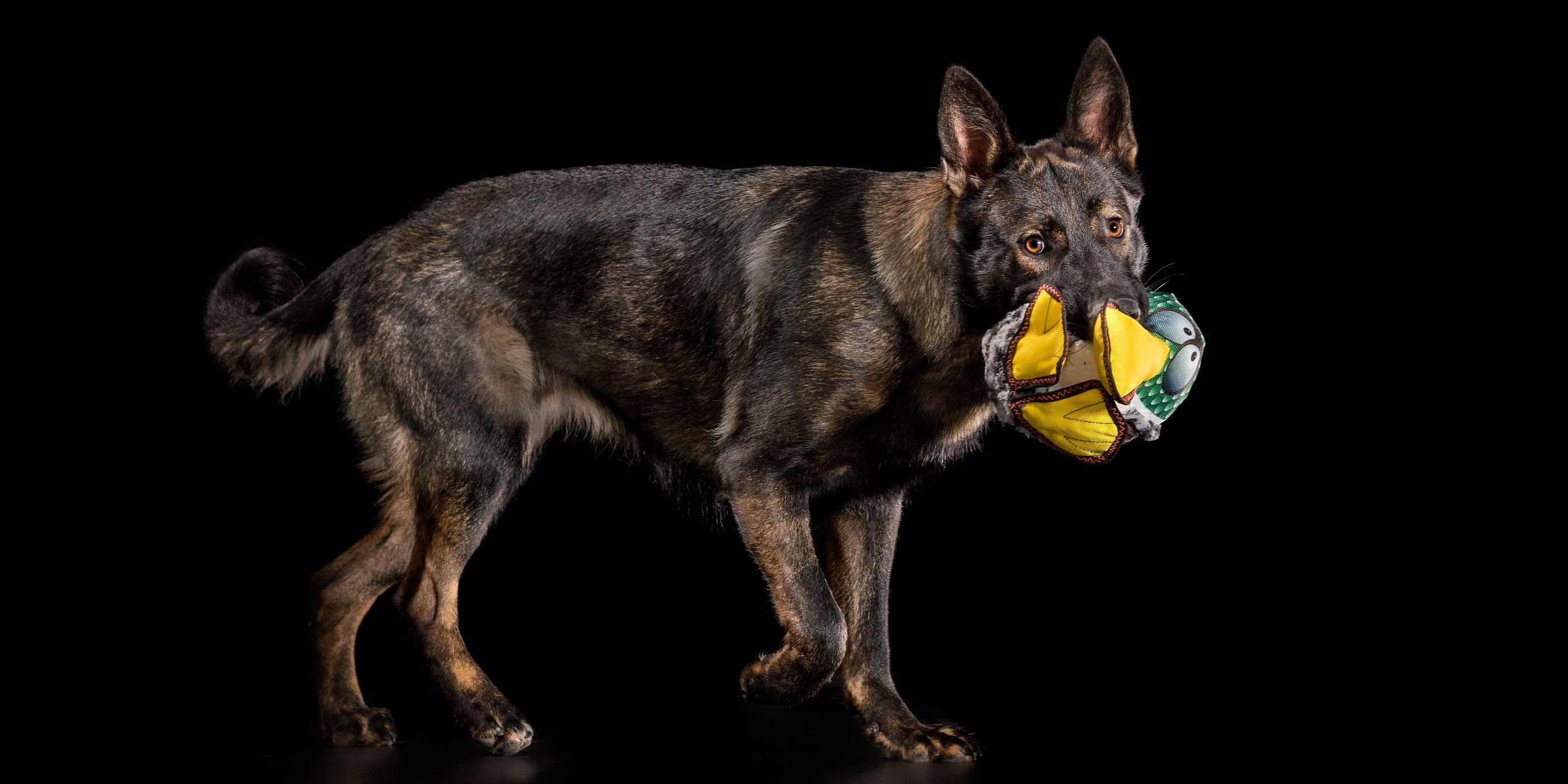 german shepherd walking with stuffed toy in mouth