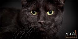 green eyed black domestic cat