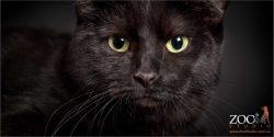 green eyed black domestic cat