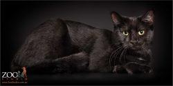 reclining sleek black domestic girl cat