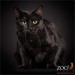 crouching green eyed black domestic cat
