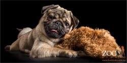 snuggle pug pup with cuddle toy