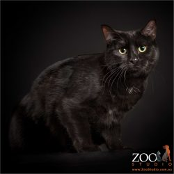 shiny black coated domestic girl cat with huge green eyes